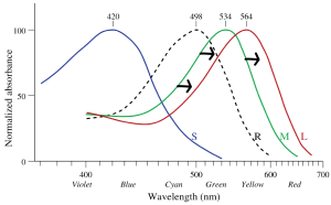 In deuteranomaly, the absorption spectra of M cones is shifted to greater wavelengths and is very close to that of the L cones.