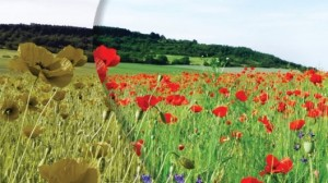 This image is provided by EnChroma and reportedly demonstrates the effect of the EnChroma sunglasses on a color blind person's perception. To the left, the flowers appear dull in color and on the right they appear vibrant red. From gizmag.
