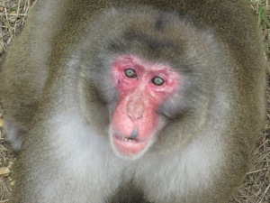 A Japanese macaque at the Primate Research Institute of Kyoto University. Many thanks to Takefumi Kikusui and Hiroki Koda for a marvelous visit.